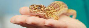 Lepoard gecko