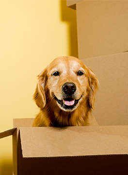Dog in moving boxes